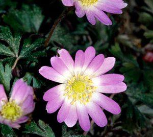Anemone Blanda - Pink Pearl